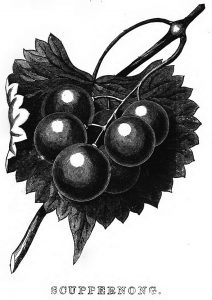 scuppernong illustration