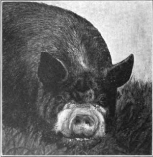 Swine in America; a text-book for the breeder, feeder & student