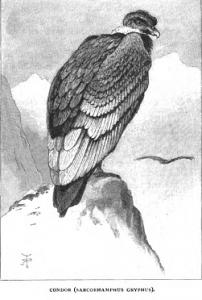 Condor_Darwin