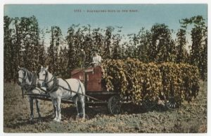"""1951 - Harvesting Hops in the West."" Courtesy of UC San Diego Library Digital Collections"